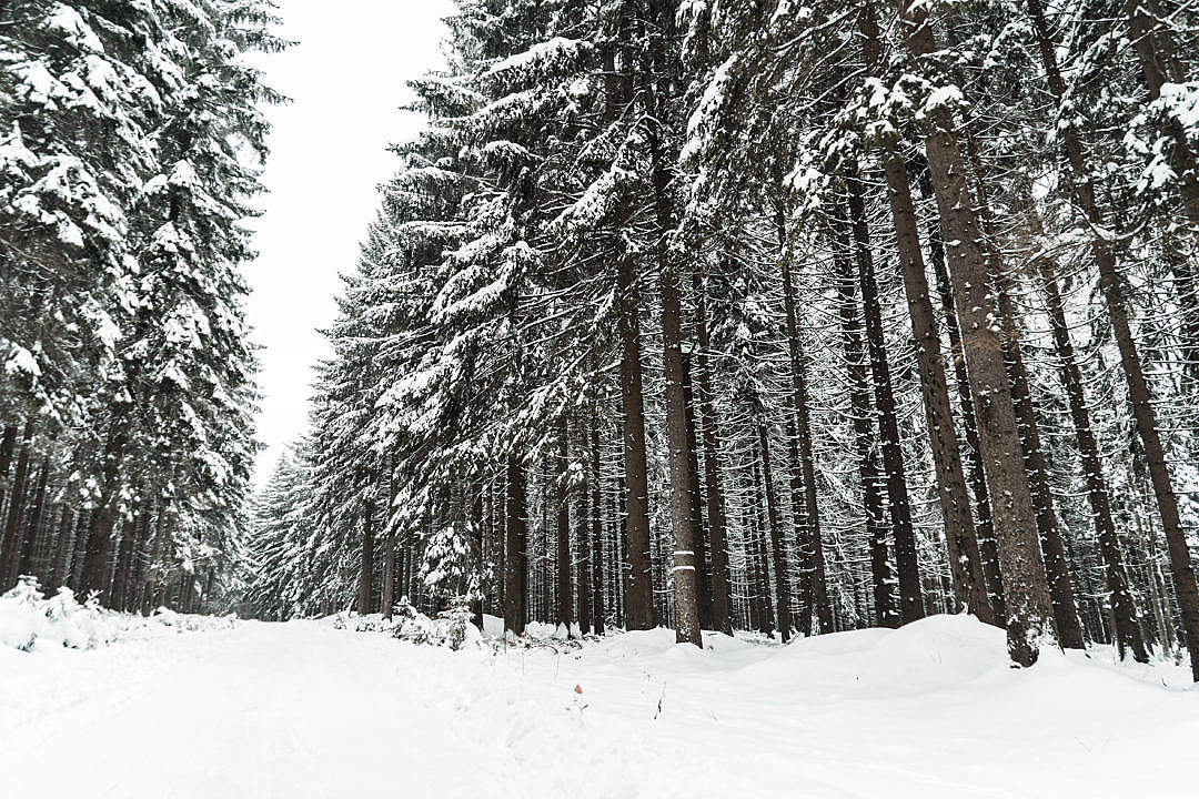 Download Winter Forest Covered with Snow FREE Stock Photo