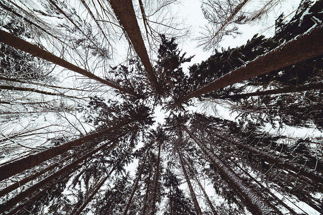 Download Winter Treetops from Below FREE Stock Photo