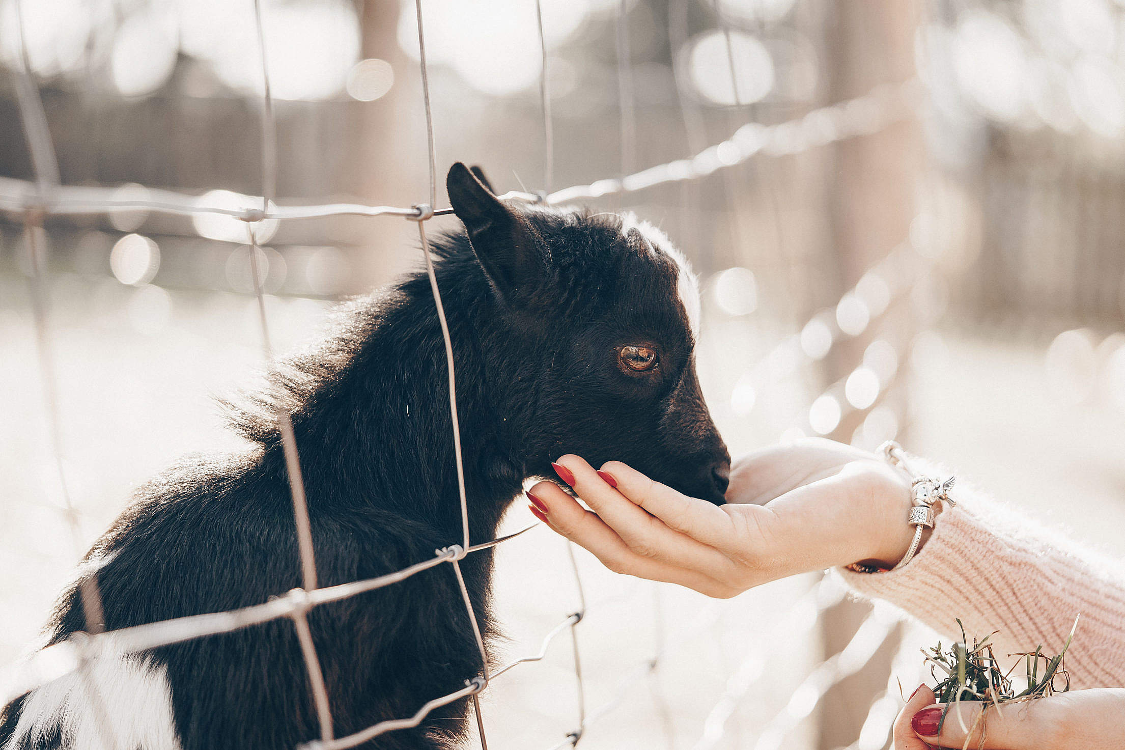 Woman Feeding a Baby Goat Free Photo