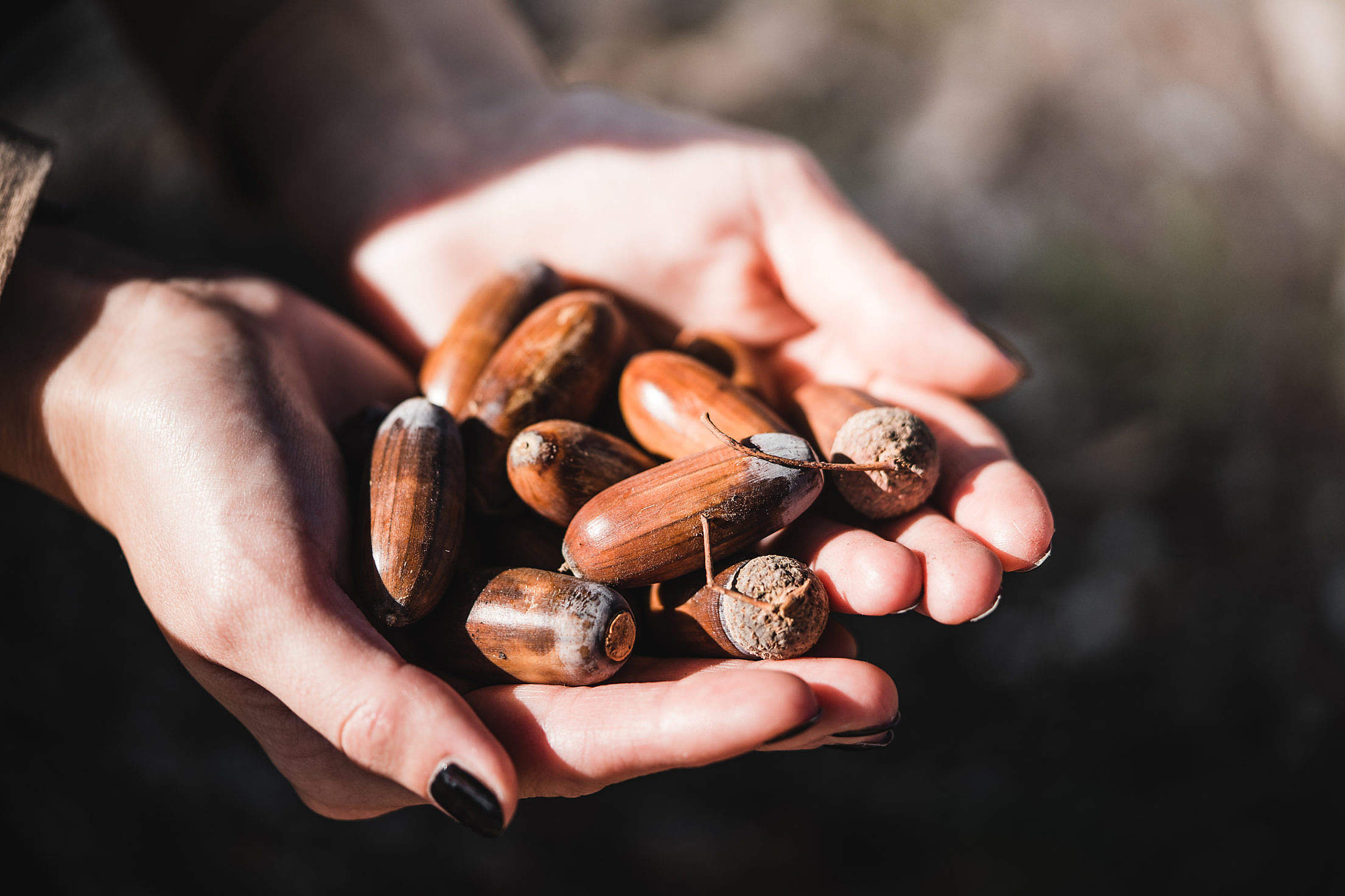 Woman Holding Acorns in Her Palms Free Stock Photo