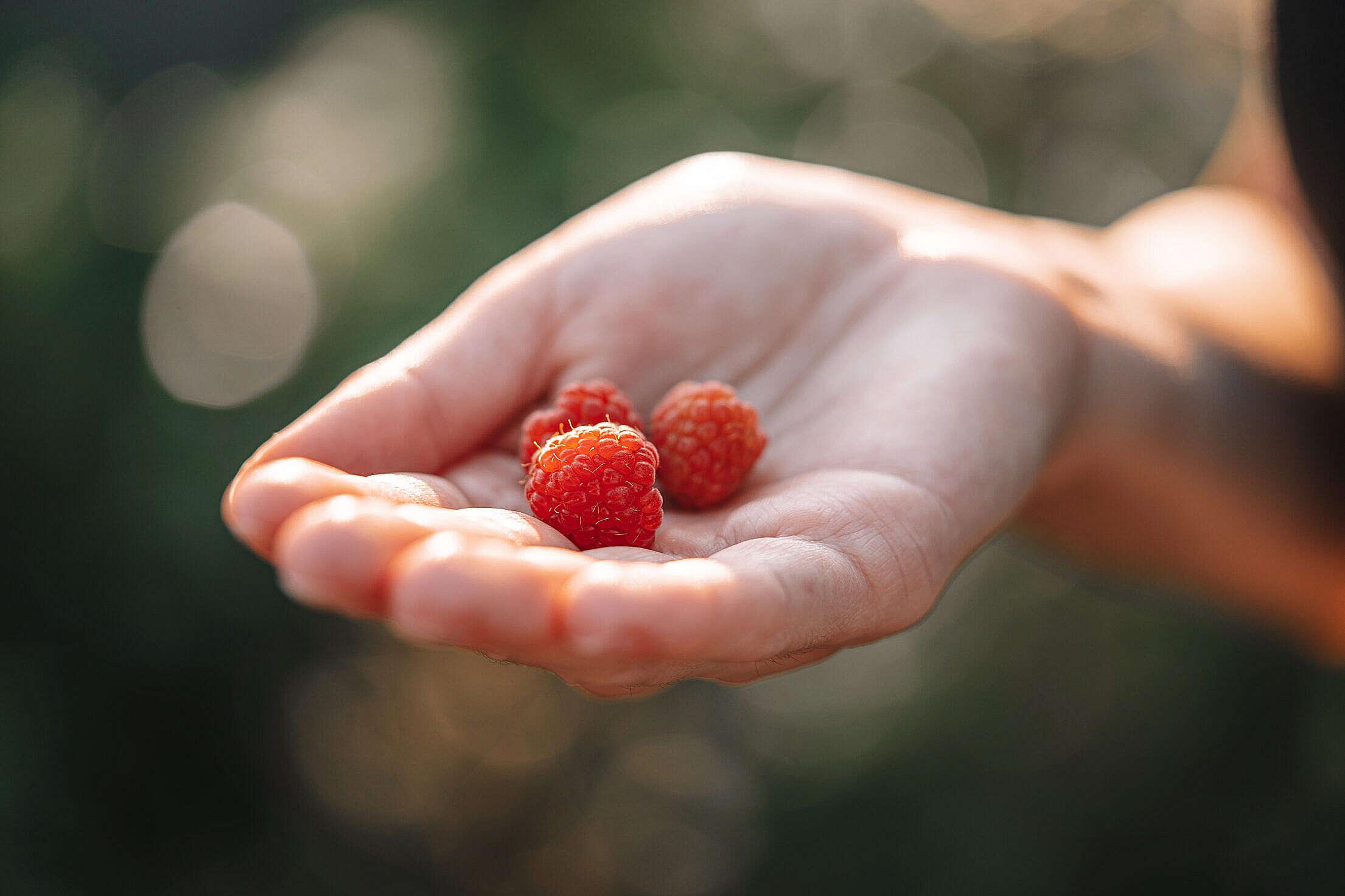 Woman Holding Raspberries Free Stock Photo