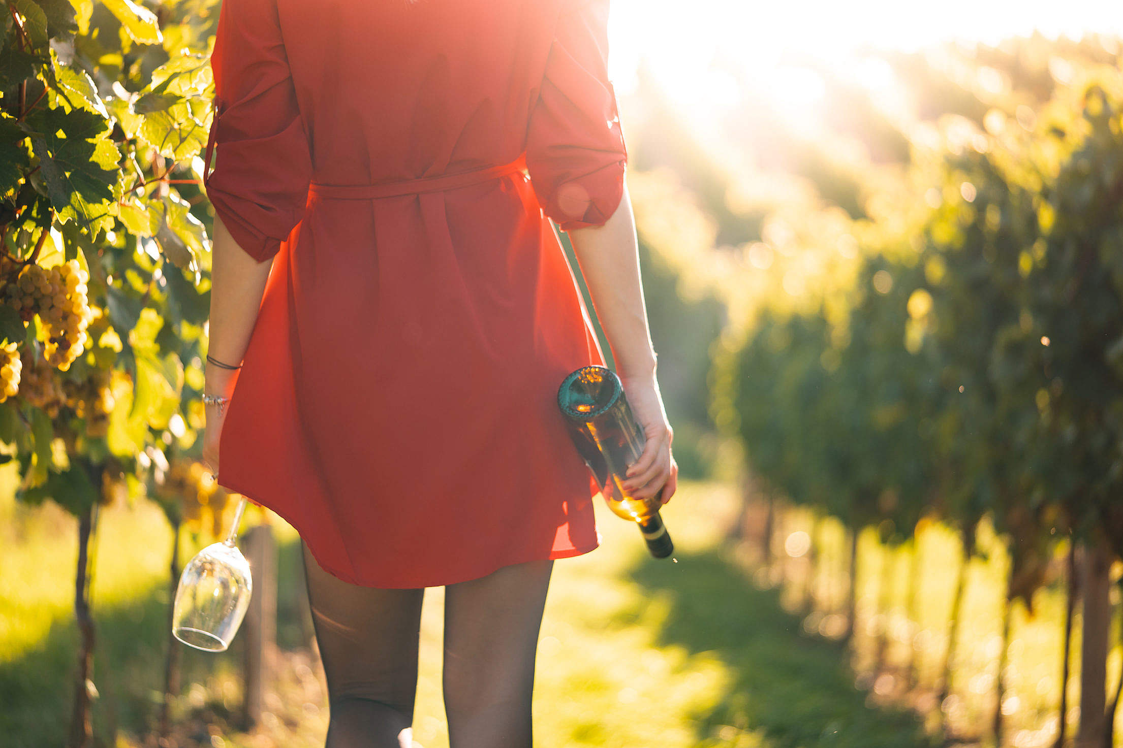 Woman in Red Dress Walking in a Vineyard Free Photo