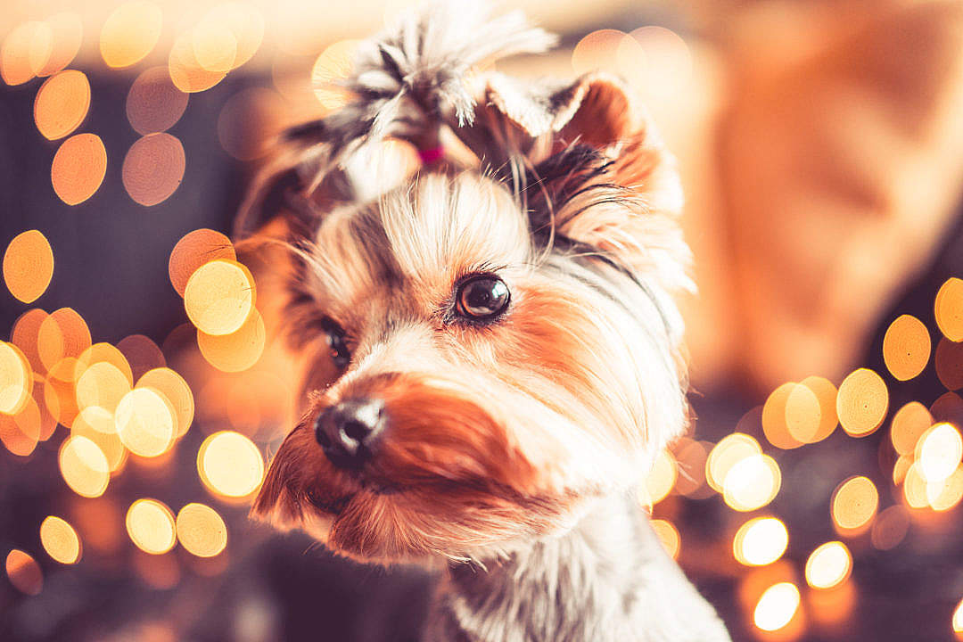 Download Wonderful Christmas Portrait of Cute Yorkshire Terrier FREE Stock Photo