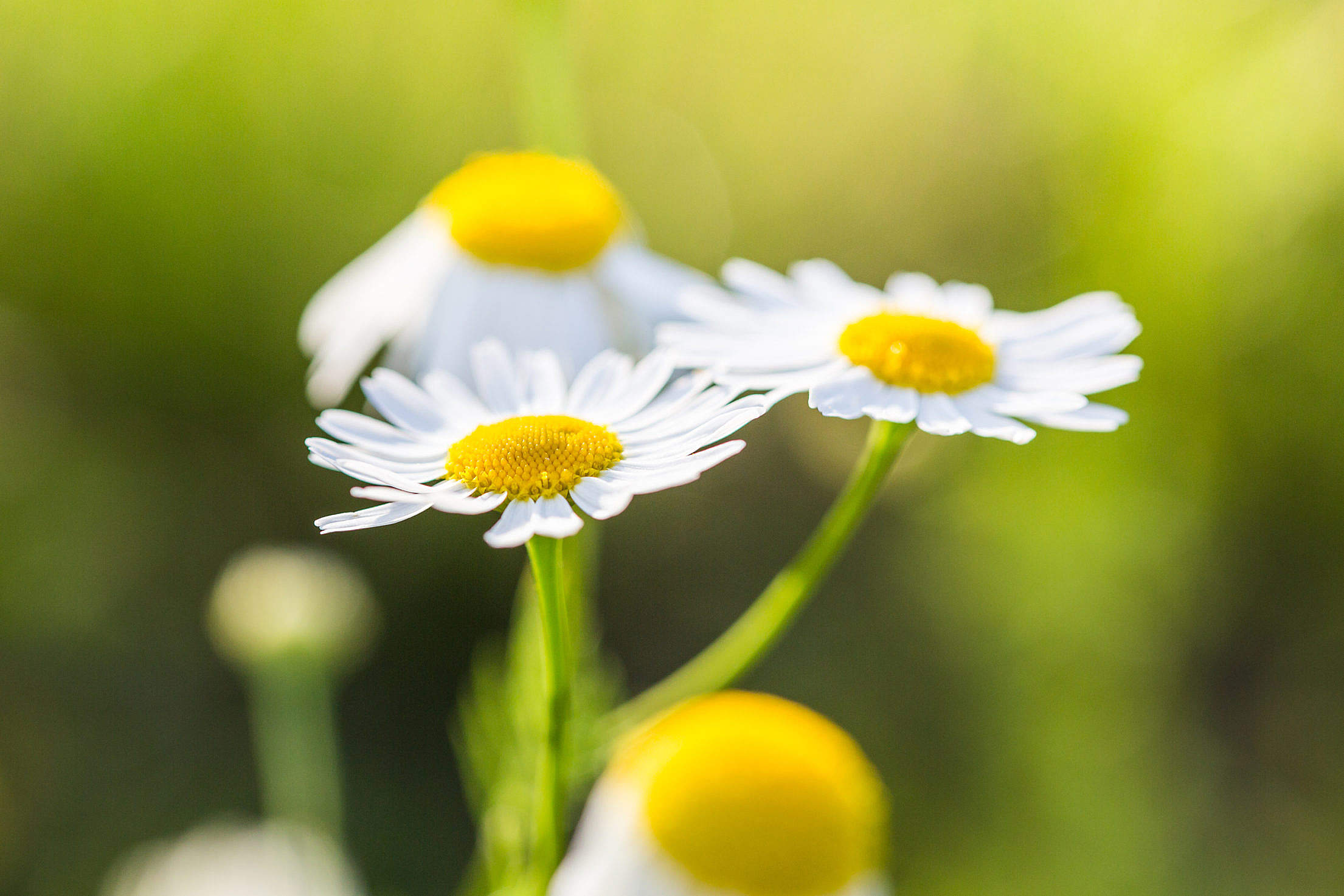 Wonderful Daisies with Bright Background Free Stock Photo