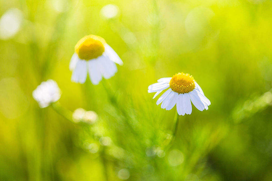 Download Wonderful Daisy with Bright Background FREE Stock Photo