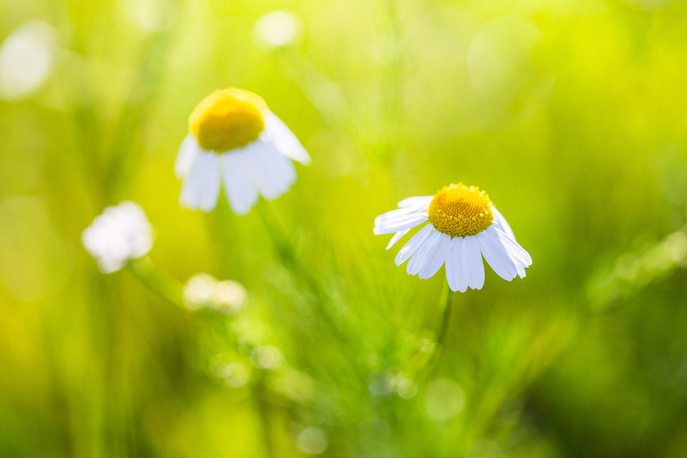 Wonderful Daisy with Bright Background Free Stock Photo