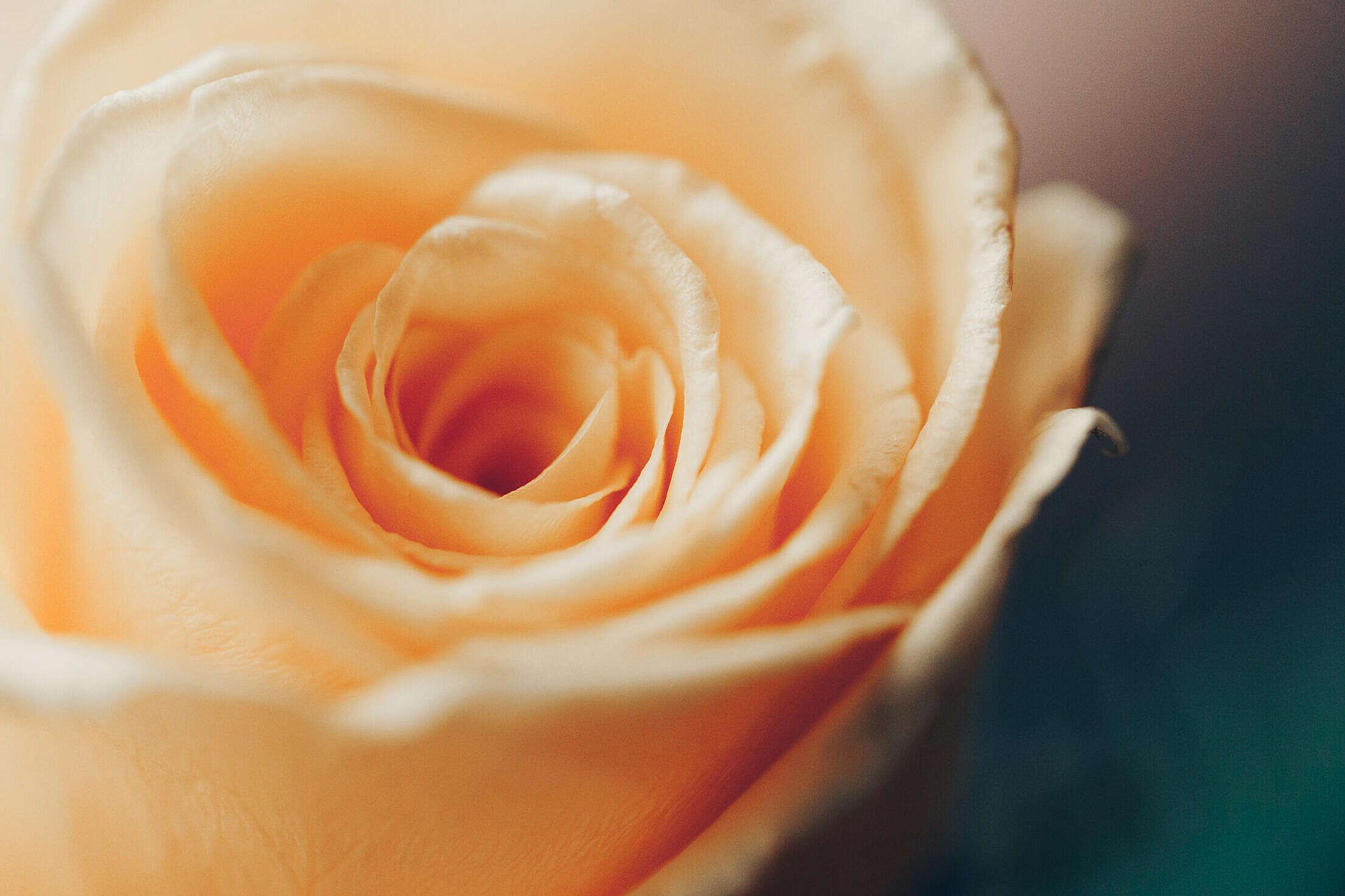 Yellow Rose Free Stock Photo
