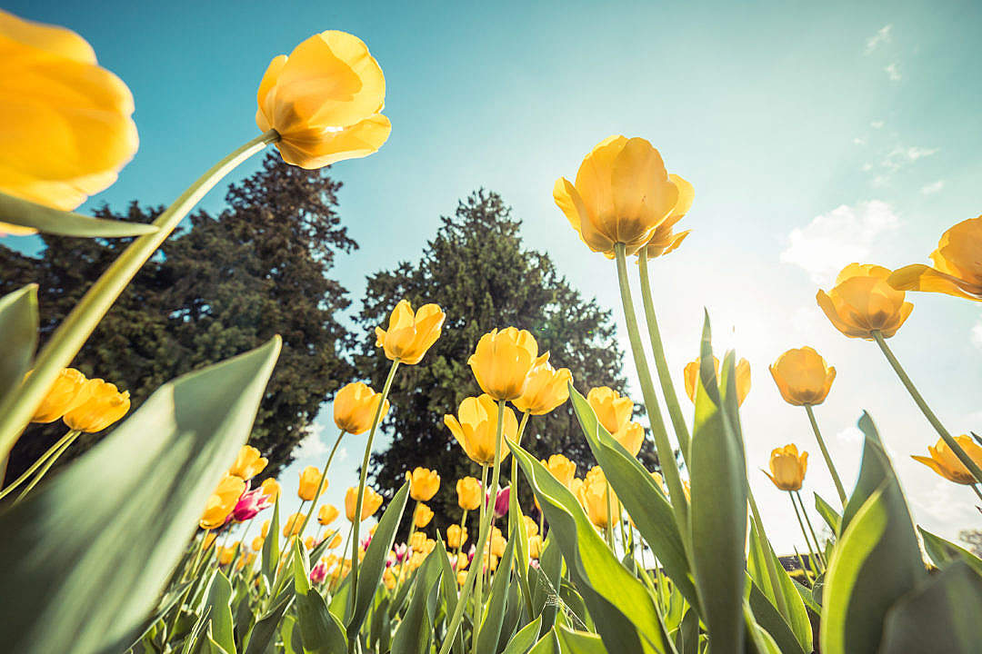 Download Yellow Tulips From Below Against Bright Sky FREE Stock Photo