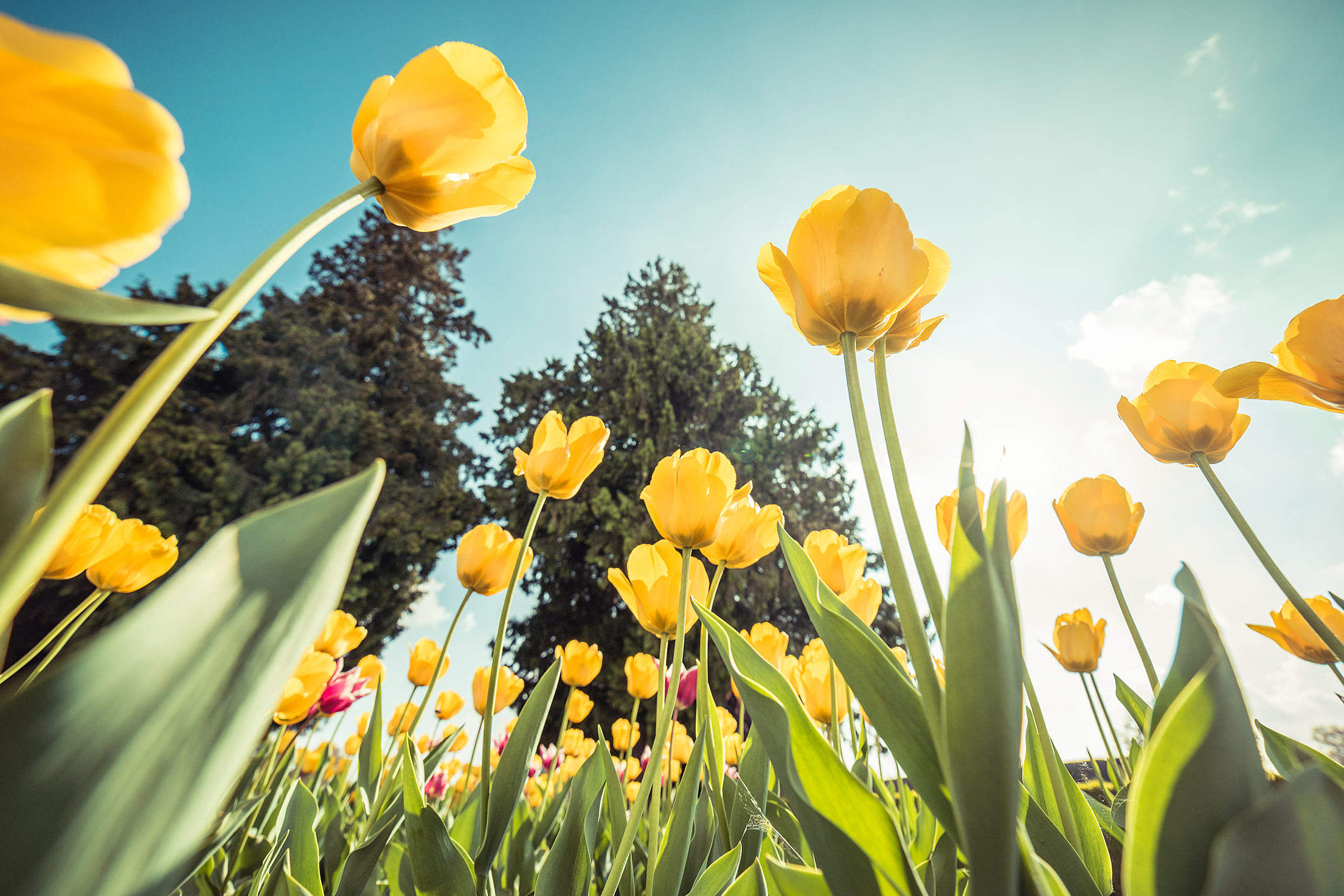 Yellow Tulips From Below Against Bright Sky Free Stock Photo