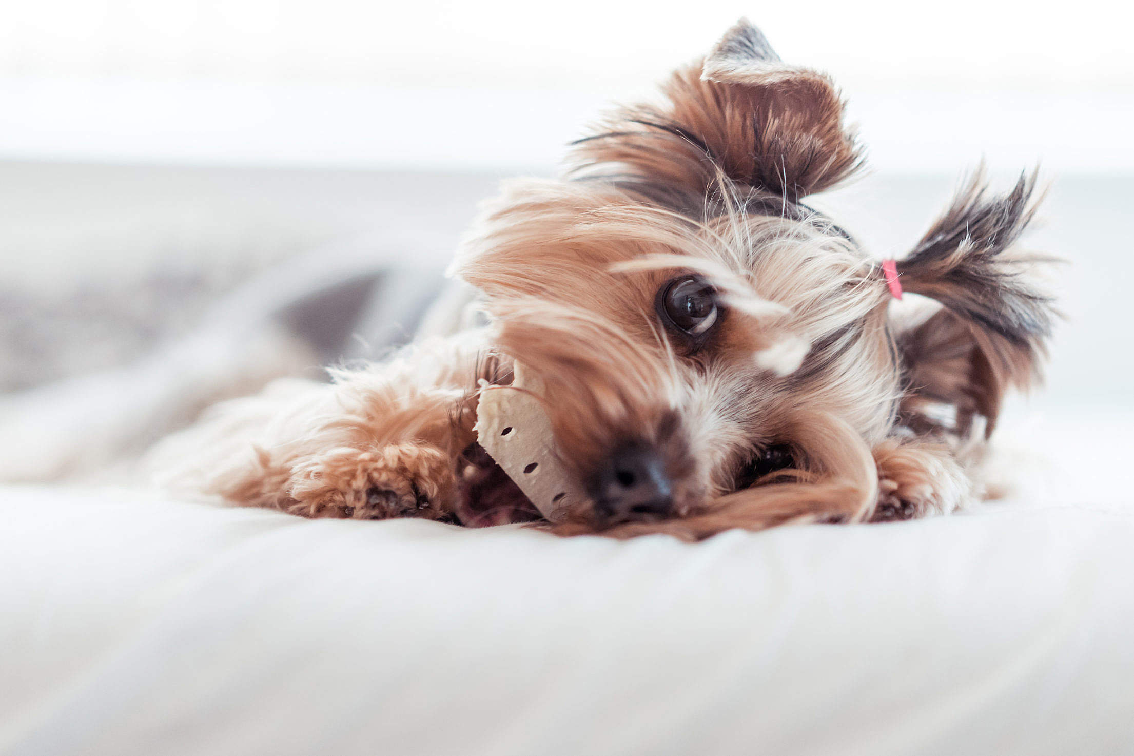 Yorkshire Terrier Eating Treats in Bed #2 Free Stock Photo