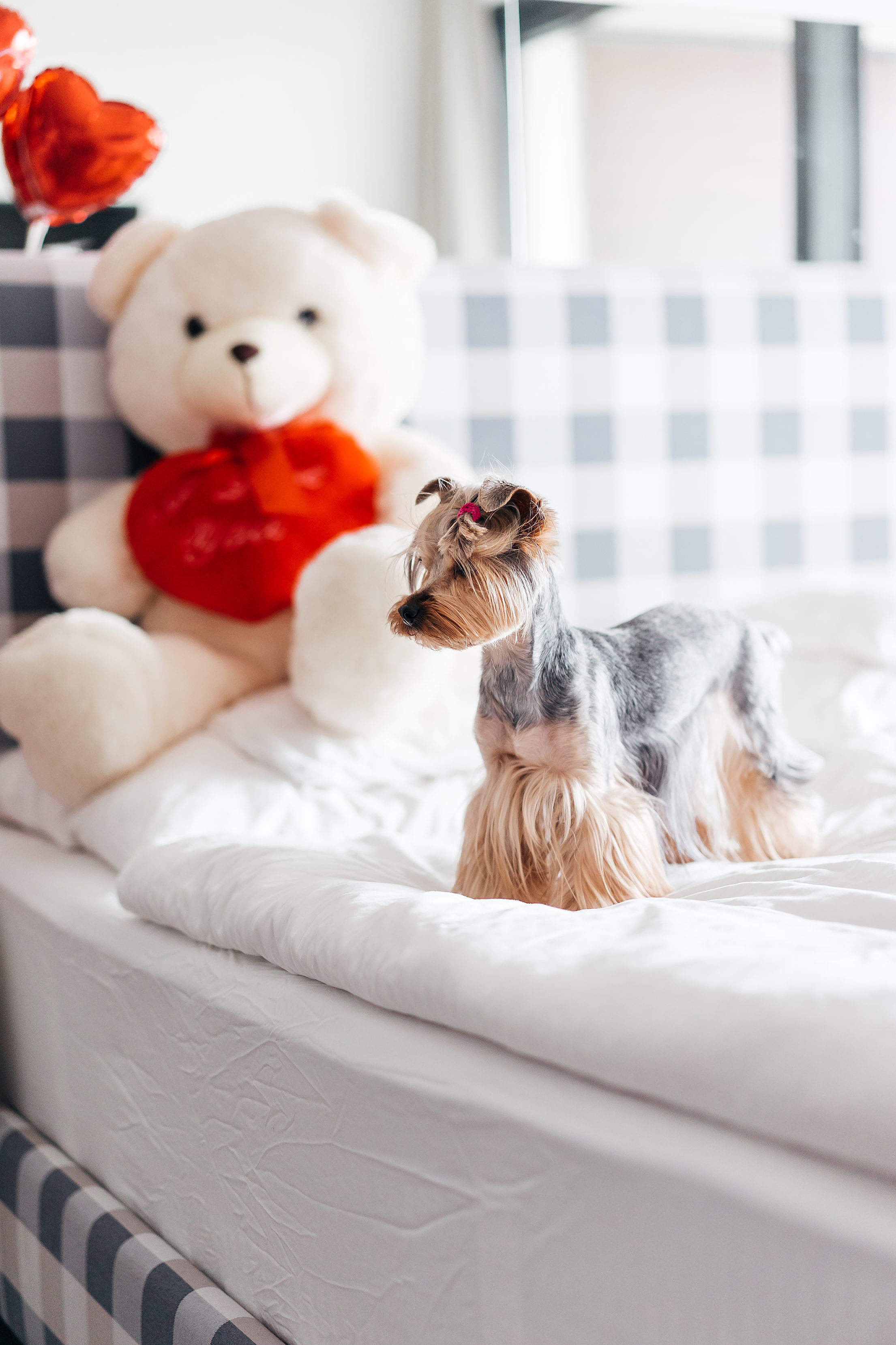 Download Yorkshire Terrier Standing on Bed Free Stock Photo