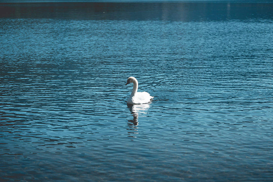 Download Young Swan Swimming Alone on a Lake FREE Stock Photo