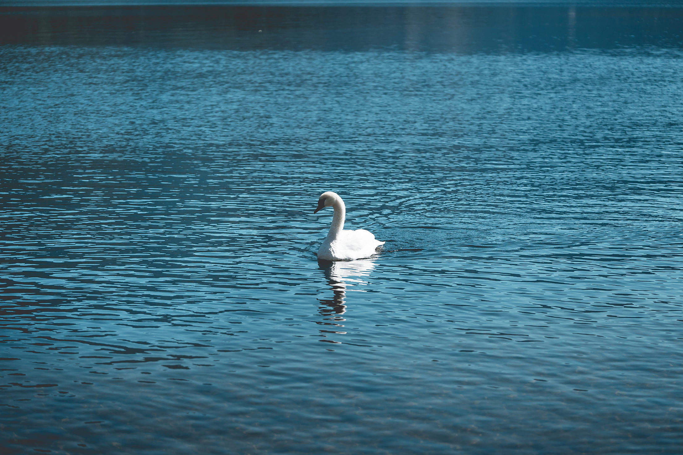 Young Swan Swimming Alone on a Lake Free Stock Photo
