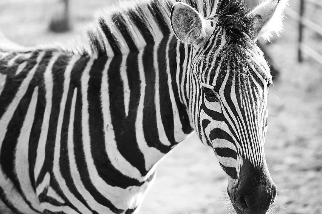 Download Zebra Black&White Portrait FREE Stock Photo